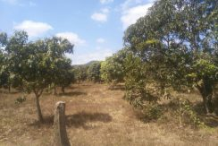 Land with many big mango in Dang Tong Kampot for sale1